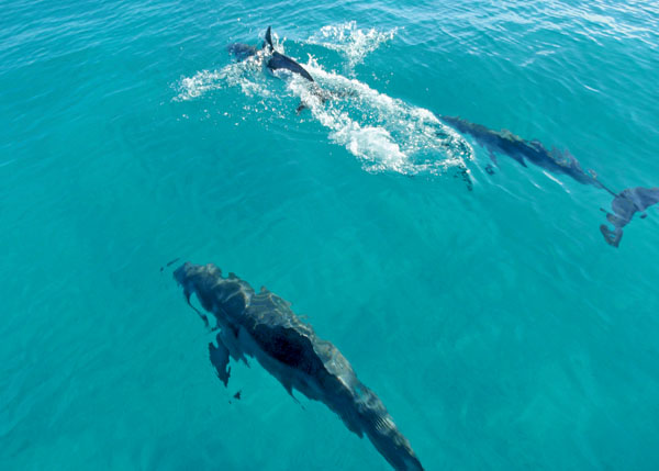 A photograph of wild and free dolphins, Turks and Caicos Islands, British West Indies