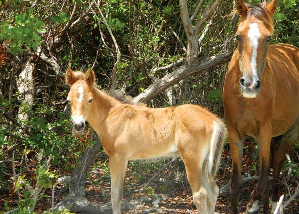 A photograph of Wild Horses and Donkeys on Grand Turk, Turks and Caicos Islands, British West Indies