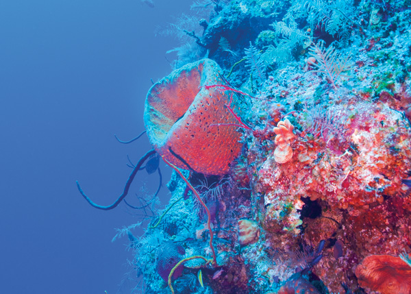 A photograph of a South Caicos Coral Head in the Turks and Caicos Islands.