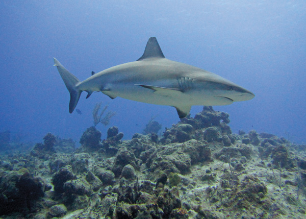 A photograph of Reef Sharks are a frequent sight in the Turks and Caicos Islands.