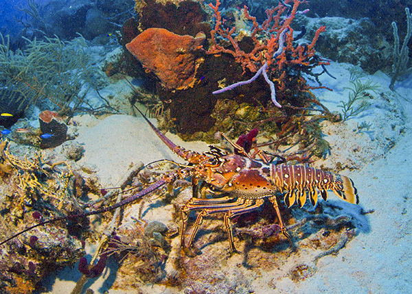 A photograph of a Caribbean spine lobster in the Turks and Caicos Islands.