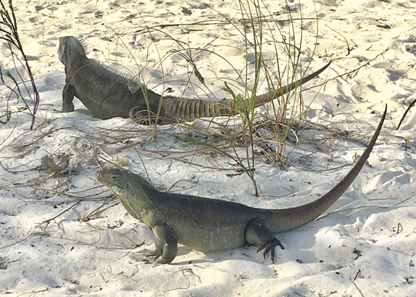 A photograph of Rock Iguanas in the Turks and Caicos Islands.