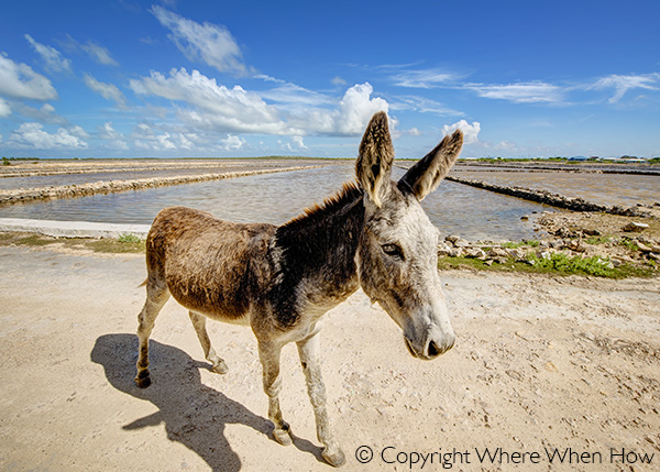 A photograph of donkeys roaming Balfour Town, Salt Cay, Turks and Caicos Islands, British West Indies